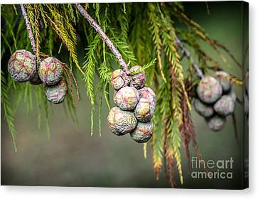 Bald Cypress Tree Seed Pods Canvas Print