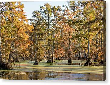 Bald Cypress Trees In Swamp, Horseshoe Canvas Print by Panoramic Images