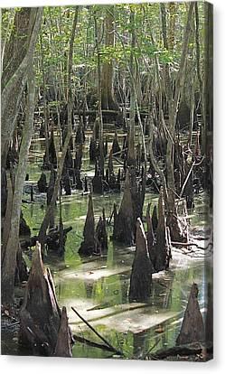 Bald Cypress Trees Canvas Print by Jeanne Kay Juhos