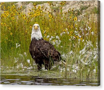 Bald Eagle @ Lunch  Canvas Print by Trace Kittrell