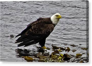 Canvas Print featuring the photograph Bald Eagle 01 by Timothy Latta