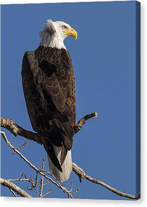 Canvas Print featuring the photograph Bald Eagle 1 by Rob Graham