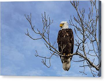 Bald Eagle Canvas Print by Aaron J Groen