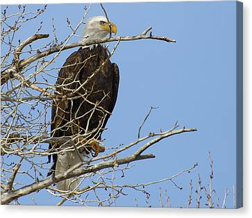 Bald Eagle And Branches 2 Canvas Print by Eric Nielsen