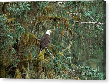 Bald Eagle Canvas Print by Art Wolfe