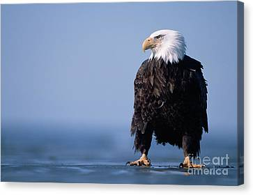 Bald Eagle At Low Tide Canvas Print