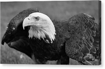 Bald Eagle Black And White Canvas Print