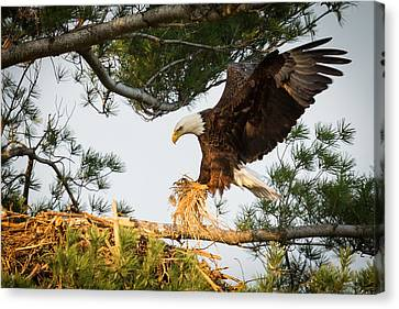 Bald Eagle Building Nest Canvas Print