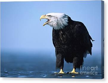 Bald Eagle Calling Canvas Print by Yva Momatiuk John Eastcott