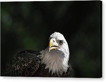 Bald Eagle Close-up In Light Canvas Print by Sheila Haddad