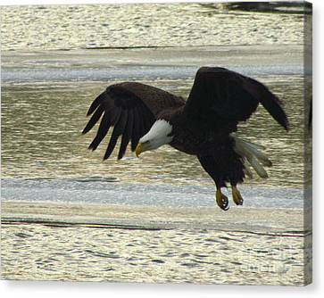 Bald Eagle Coming In For Landing Canvas Print