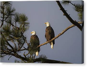 Bald Eagle Couple Canvas Print