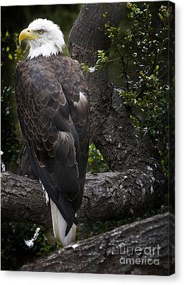 Bald Eagle Canvas Print by David Millenheft