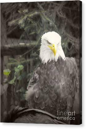 Bald Eagle Canvas Print by Dawn Gari