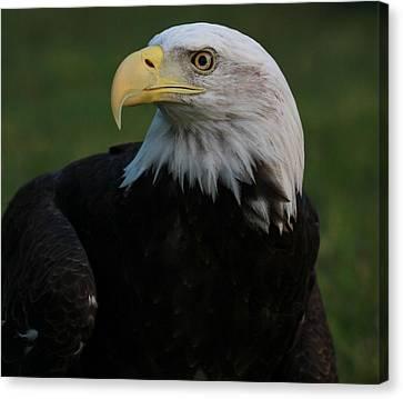 Bald Eagle Details Canvas Print by Dan Sproul