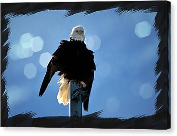 Bald Eagles Canvas Print - Bald Eagle Dreaming by Debra  Miller