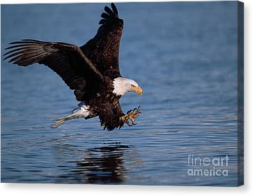 Bald Eagle Fishing Kenai Peninsula Canvas Print by Yva Momatiuk John Eastcott