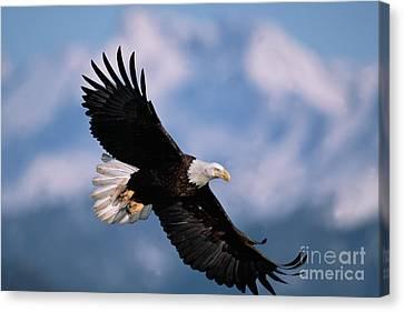 Bald Eagle Flying Kachemak Bay Canvas Print by Yva Momatiuk John Eastcott