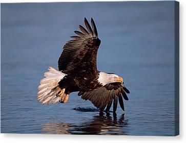 Bald Eagle Flying Kenai Peninsula Canvas Print by