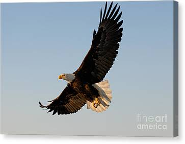 Bald Eagle Flying With Fish In Its Talons Canvas Print by Stephen J Krasemann