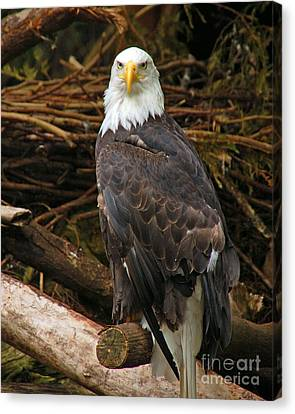 Bald Eagle I Canvas Print by Chuck Flewelling