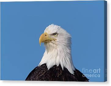 Bald Eagle In Alaska Canvas Print by Yva Momatiuk John Eastcott