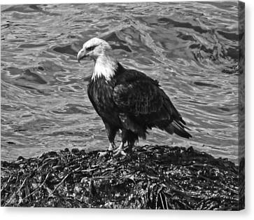 Canvas Print featuring the photograph Bald Eagle In Black And White by Timothy Latta
