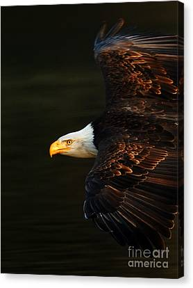 Eagle In Flight Canvas Print - Bald Eagle In Flight by Bob Christopher