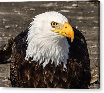 Bald Eagle Looking At You Canvas Print