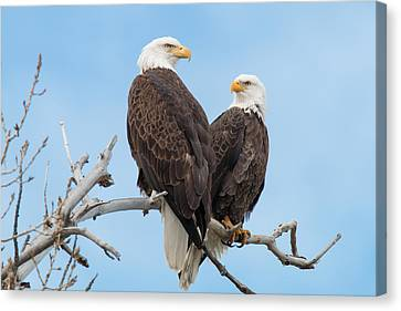 Bald Eagle Mates Form A Heart Canvas Print by Tony Hake