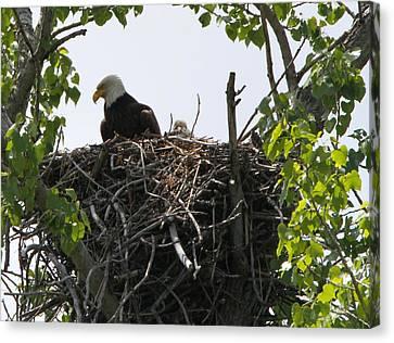 Bald Eagle Nesting Canvas Print