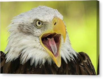 Bald Eagle Canvas Print by Nigel Downer