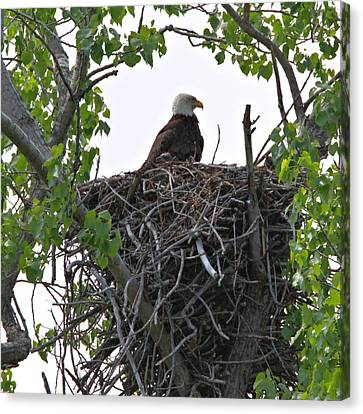 Bald Eagle On Nest Canvas Print