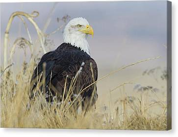 Bald Eagle On The Ground Canvas Print by Ken Archer