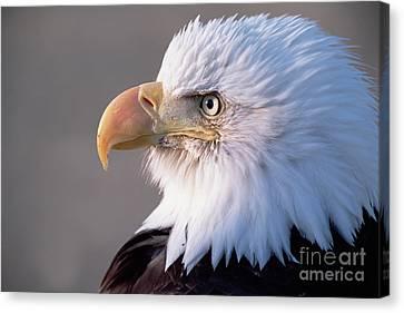 Bald Eagle Portrait Alaska Canvas Print by Yva Momatiuk and John Eastcott
