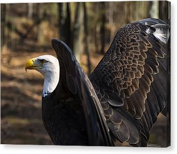 Bald Eagle Preparing For Flight Canvas Print by Chris Flees