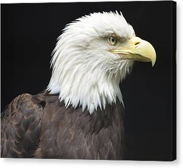 Bald Eagle Profile 2 Canvas Print by Richard Bryce and Family