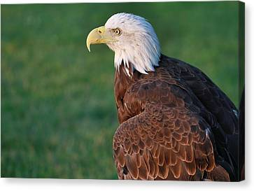 Bald Eagle Showing Off Canvas Print