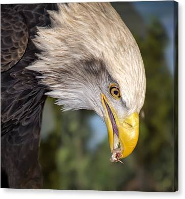 Bald Eagle Snacks Canvas Print by Bill Tiepelman