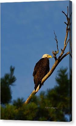 Bald Eagle Canvas Print by Steven Clipperton