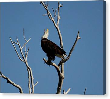 Bald Eagle Talking Canvas Print