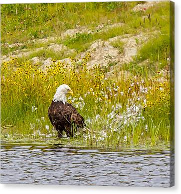Bald Eagle  Canvas Print by Trace Kittrell
