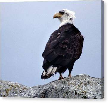 Bald Eagle Watching Canvas Print by Gena Weiser