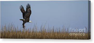 Bald Eagle With Bird In Talons Canvas Print