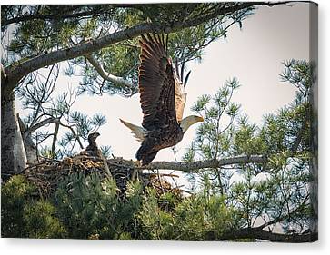 Bald Eagle With Eaglet Canvas Print by Everet Regal