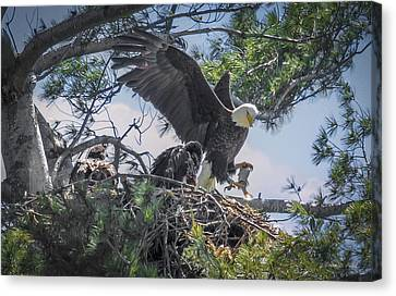 Bald Eagle With Eaglets And Fish Canvas Print by Everet Regal