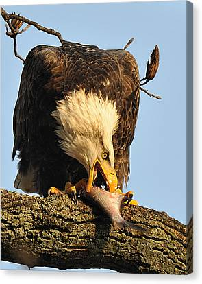 Bald Eagle With Fish 2 Canvas Print by Angel Cher