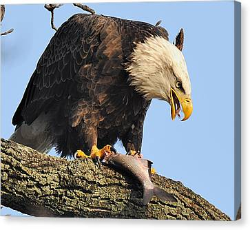 Bald Eagle With Fish Canvas Print by Angel Cher