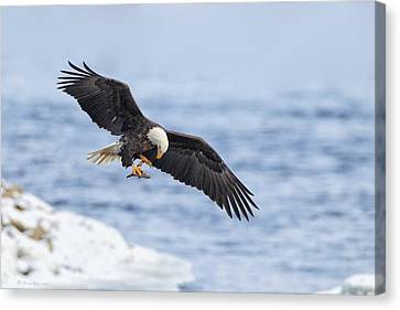 Bald Eagle With Prey Canvas Print by Daniel Behm