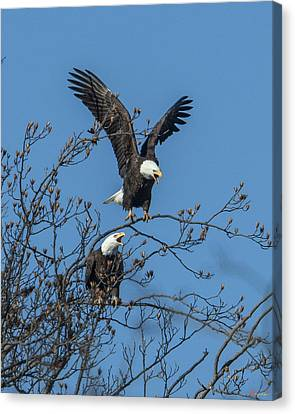 Bald Eagles Screaming Drb169 Canvas Print by Gerry Gantt